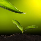 Green Plant With Water Drop Royalty Free Stock Image