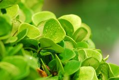 Green plant and water droplet in the garden Stock Image