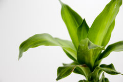 Green plant on white background Royalty Free Stock Photography