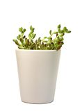 Green plant in white flowerpot. A green plant in white flowerpot with white background Royalty Free Stock Photo
