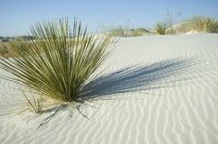 Green plant in white sand dune Royalty Free Stock Photography