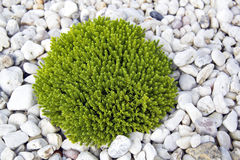 Green plant and white stones Royalty Free Stock Images