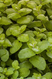 Green plant with wide leaves with dew. Green plant with wide leaves covered with dew Stock Photo