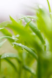 Green Plant With Dew Drops Royalty Free Stock Photos
