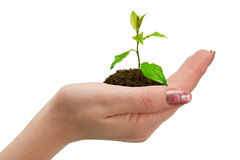Green plant in woman hand Royalty Free Stock Photo