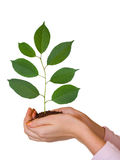 Green plant in women hands Stock Photos