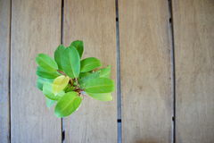 Green plant on wood background. S Stock Image