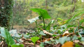Green plant in woods. Small green plant growing alone in woods. Autumn time and leaves on the ground stock video