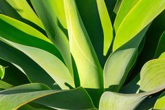 Green plant yucca or Tree of Life captured very closely,  close up royalty free stock photo