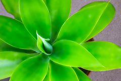 Green plant yucca or Tree of Life captured very closely,  close up in Namibia royalty free stock images