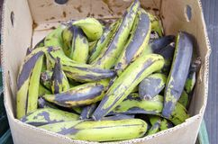 Green Plantains Royalty Free Stock Photography