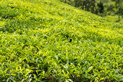 Green plantation of Ceylon tea Royalty Free Stock Photo