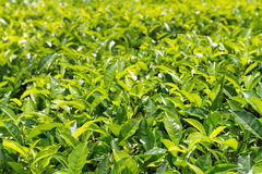 Green plantation of Ceylon tea Royalty Free Stock Photography