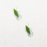 Green planthopper Stock Photos