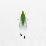 Green planthopper Royalty Free Stock Photography