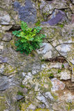 Green planton a stone wall. Green plant growing out of a stone wall Royalty Free Stock Photo
