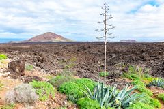 Green plants with agave and lava field near to tourist road trail to vulcano Caldera Blanca, Lanzarote, Canary Islands, Spain.  royalty free stock image