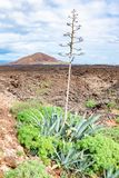 Green plants with agave and lava field near to tourist road trail to vulcano Caldera Blanca, Lanzarote, Canary Islands, Spain.  stock image