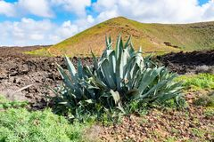 Green plants with agave and lava field near to tourist road trail to vulcano Caldera Blanca, Lanzarote, Canary Islands, Spain.  stock photography