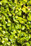 Green plants as background Royalty Free Stock Images