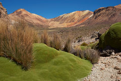 Green Plants in the Atacama Desert Royalty Free Stock Photo