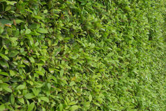 Green plants background. Beautiful green plants texture background Royalty Free Stock Photos