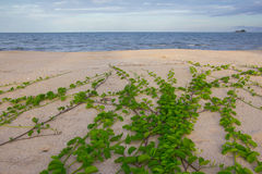 Green plants in the Beach. Ipomoea Pes-caprae growth across the beach stock photography