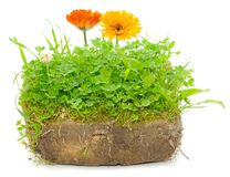 Green Plants and Calendula Flowers in Soil Stock Image