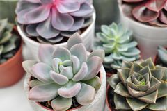 Green plants in cement concrete and white pots, colored succulents, stand on white table and shelf. The concept of. Green plants in cement concrete and white royalty free stock photos