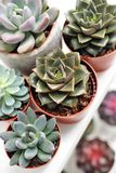 Green plants in cement concrete and white pots, colored succulents, stand on white table and shelf. The concept of. Green plants in cement concrete and white royalty free stock photo