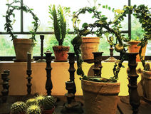 Green plants in clay pots decorating a window Royalty Free Stock Photo