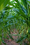 Green plants of corn Stock Photography