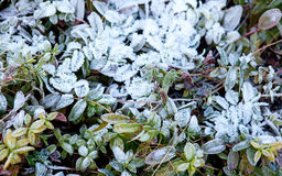 Green plants covered with hoarfrost. And snow Royalty Free Stock Photos