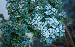 Green plants covered with hoarfrost. And snow Royalty Free Stock Images