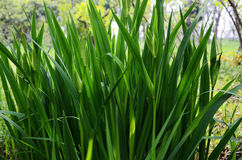 Green plants. Dense, lush plants in Field Royalty Free Stock Images