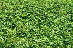 Green Plants Fence Royalty Free Stock Images