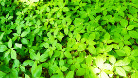 Green plants. Plants on the forest floor Royalty Free Stock Photography