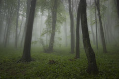 Green plants in a forest with fog in summer Royalty Free Stock Photography
