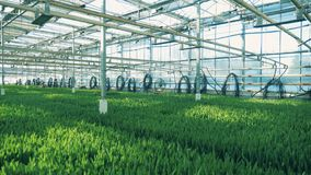 Green plants grow in rows inside a big greenhouse. 4K stock footage