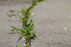 Green plants growing in cracked asphalt road texture. Green plants growing in the cracked asphalt road texture Stock Photos