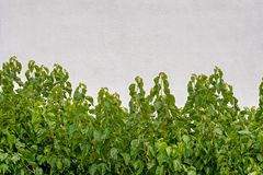 Green plants growing near the white stucco wall. royalty free stock images