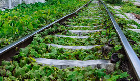 Green plants growing by the railroad tracks Stock Photography