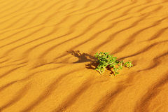 Green plants growing in sand dunes in the Sahara Desert Royalty Free Stock Photo