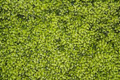 Green plants growing up a wall background. Small leaves, leavesrn Royalty Free Stock Photography
