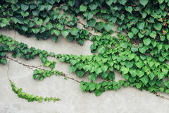 Green plants growing on wall Stock Photo