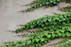 Green plants growing on wall Stock Image