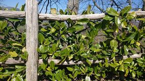 Green plants on a wooden fence. Green plants growing on a wooden fence royalty free stock photo