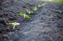 Green plants growth Royalty Free Stock Photo