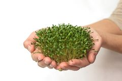 Green plants in hand, germinated seeds of cress lettuce in the palm on a white background, isolate, vegetarianism, raw foods, stock photography