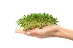 Green plants in hand, germinated seeds of cress lettuce in the palm on a white background, isolate, vegetarianism, raw foods, royalty free stock image